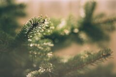 Spruce tree Royalty Free Stock Images