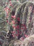 spruce tree Arkivfoto