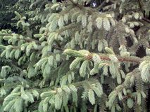 spruce tree Royaltyfria Foton