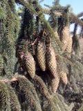 spruce tree Fotografering för Bildbyråer