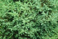Spruce tree background Stock Photos