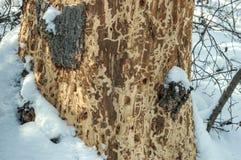 Spruce tree barkless trunk Royalty Free Stock Image