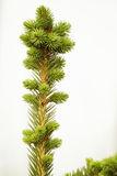 Spruce  tree branch Stock Image