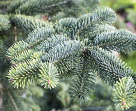 Spruce tree branch detail Royalty Free Stock Photography