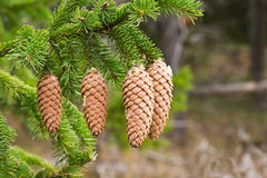 Spruce. Tree branch with fir cones Stock Image