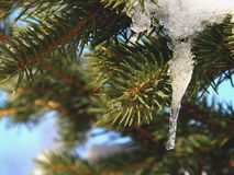 Spruce Tree Branch with Icicle royalty free stock images