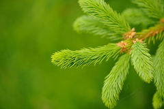 Spruce Tree Branch with New Green Needles Royalty Free Stock Image