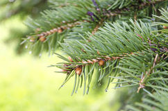 Spruce tree branch and waterdrops.  stock photo