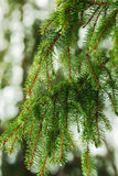 spruce  tree branch Royalty Free Stock Photos