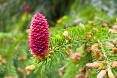 Spruce tree branch with young cones Stock Image