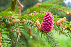 Spruce tree branch with young cones Royalty Free Stock Images