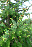 Spruce Tree Branches. Green Spruce Tree Branches close-up Royalty Free Stock Photography
