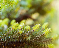 Spruce tree branches. Green young spruce tree branches in spring Stock Images