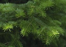 Green spruce branches as a textured background. Stock Photography