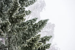 Spruce tree branches covered with hoarfrost Stock Photography