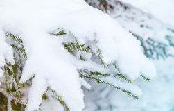 Spruce tree branches covered with snow Stock Image