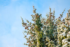 Spruce tree branches covered with snow. Winter background. Copy scape. Spruce tree branches covered with snow and sky. Winter background. Copy scape Royalty Free Stock Image