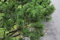 Spruce Tree Branches 7877 Royalty Free Stock Photo