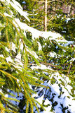 Spruce tree branches in the snow. The afternoon sun caresses the branches of a fir-tree in winter Stock Photos