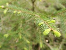 Spruce, for tree with buds in springtime.  stock photo