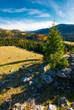 Spruce tree on a cliff. Beautiful sunrise in mountains. lovely autumn weather Stock Photography