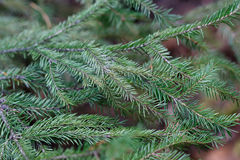 Spruce tree close-up Royalty Free Stock Images