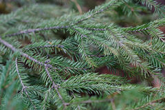 Spruce tree close-up Stock Photos