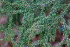 Spruce tree close-up Stock Photography