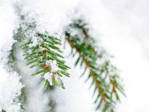 Spruce tree closeup in snowy winter Royalty Free Stock Images