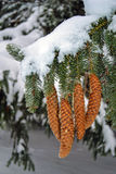 Spruce Tree Cones. Beautiful Snow Covered Spruce Tree Branch with spruce cones in winter. Taken in December, winter in Ontario, Canada Royalty Free Stock Photography