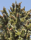 Spruce Tree with Cones and Snow Royalty Free Stock Photo