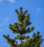 Spruce tree with cones. Texture or background Stock Images