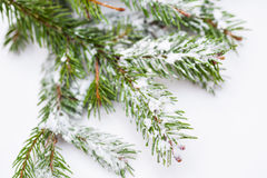 Spruce tree covered with snow detail Royalty Free Stock Photography