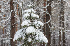 Spruce tree covered with snow, winter forest scene Royalty Free Stock Photos