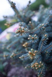 Spruce tree is an evergreen coniferous tree. Needles of blue spruce in the park Royalty Free Stock Photo