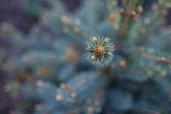 Spruce tree is an evergreen coniferous tree. Needles of blue spruce in the park Stock Images