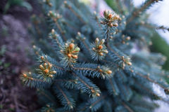 Spruce tree is an evergreen coniferous tree. Needles of blue spruce in the park Stock Photo