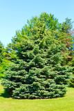 Spruce Tree. Evergreen Spruce Tree growing on a green lawn royalty free stock image