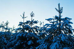 spruce tree för snow Royaltyfria Foton