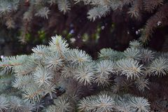 Spruce tree. The fluffy limb of blue spruce tree close-up Stock Photos