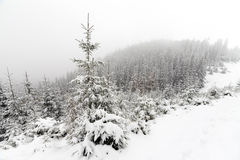 Spruce Tree foggy Forest Covered by Snow in Winter Landscape. Royalty Free Stock Photo
