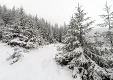 Spruce Tree foggy Forest Covered by Snow in Winter Landscape. Royalty Free Stock Photos