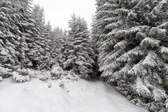 Spruce Tree foggy Forest Covered by Snow in Winter Landscape. Royalty Free Stock Photography