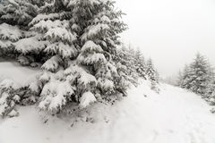 Spruce Tree foggy Forest Covered by Snow in Winter Landscape. Stock Photo