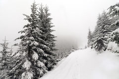 Spruce Tree foggy Forest Covered by Snow in Winter Landscape. Stock Images