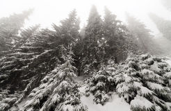 Spruce Tree foggy Forest Covered by Snow in Winter Landscape. Royalty Free Stock Image