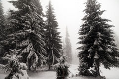 Spruce Tree foggy Forest Covered by Snow in Winter Landscape. Royalty Free Stock Images