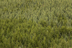 Spruce tree forest Stock Photography