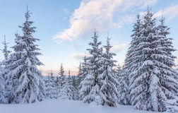Spruce Tree Forest Covered By Snow In Winter Stock Photo