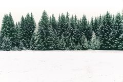 Spruce tree forest covered by fresh snow during Winter Christmas time background. stock images